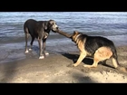 Dueling Bigdogs   Great Dane vs German Shepherd - 100500 Really Funny Dog Video