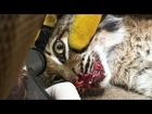 Bobcat Makes Lucky Escape From Car Crash: WILDEST ANIMAL RESCUES