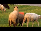Mating Animal Animals | Love Funny Farm