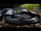 Africa's Most DANGEROUS SNAKE Black Mamba Snakes Wildlife Documentary