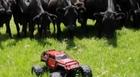 Δείτε τι γίνεται όταν αγελάδες συναντούν τηλεκατευθυνόμενο αυτοκινητάκι