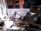Cow Using Hand Pump For driking Water Mojza Video